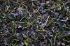Иван чай с цветами Кипрея